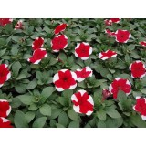 Petunia Red Picotee 125mm pk1
