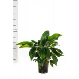 Philiodendron 'Congo' 200mm pk1