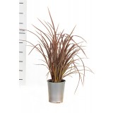 Phormium tenax 'Bronze Warrior' 200mm pk1