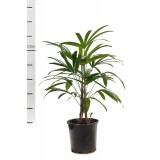 Rhapis Excelsa 200mm pk1