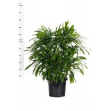 Rhapis Excelsa 300mm pk1