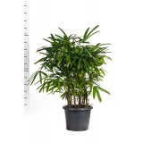 Rhapis Excelsa 400mm pk1