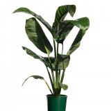 Spathiphyllum 'Sensation' 200mm pk1