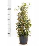 Syzygium Australe 'Resilience' 200mm pk1
