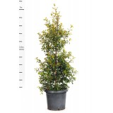 Syzygium Australe 'Resilience' 300mm pk1