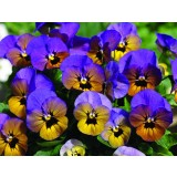 Viola Penny Marlies 125mm pk1
