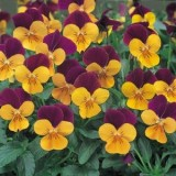 Viola Penny Orange Jump Up 125mm pk1