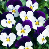 Viola Penny White Jump Up 125mm pk1