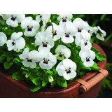 Viola Penny White with Blotch 125mm pk1