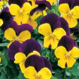 Viola Penny Yellow Jump Up 125mm pk1